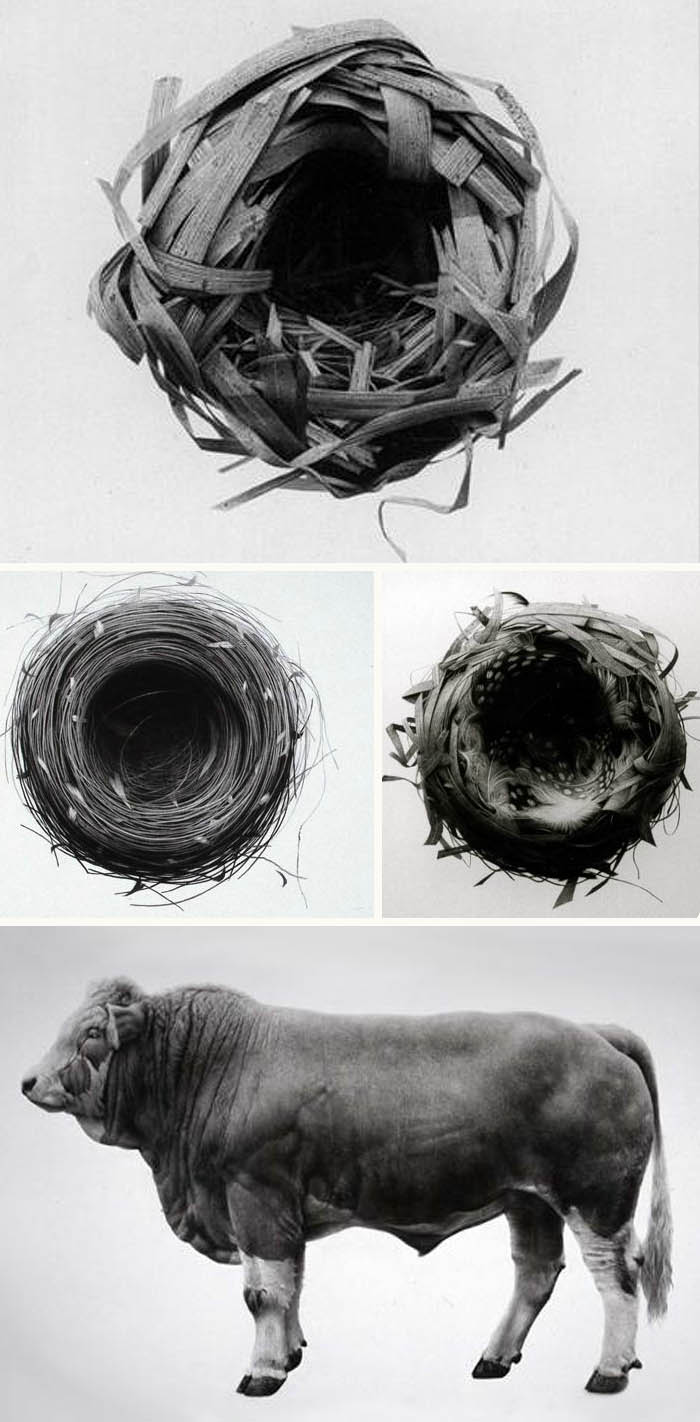 Amazing charcoal drawings of nests and animals that almost look like photographs